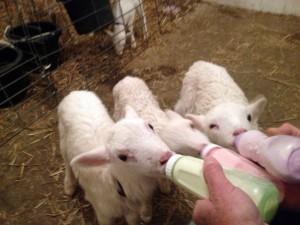 lambs2-300x225